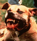 File photo of a vicious pit bull