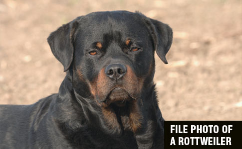 pet rottweiler kills owner