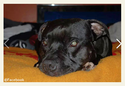 7a49296cef188 2014 Dog Bite Fatality  Portage Man Mauled to Death by Pet Pit Bull on  Christmas Day