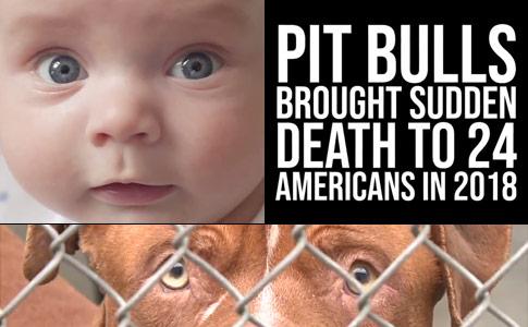 sudden death pit bulls
