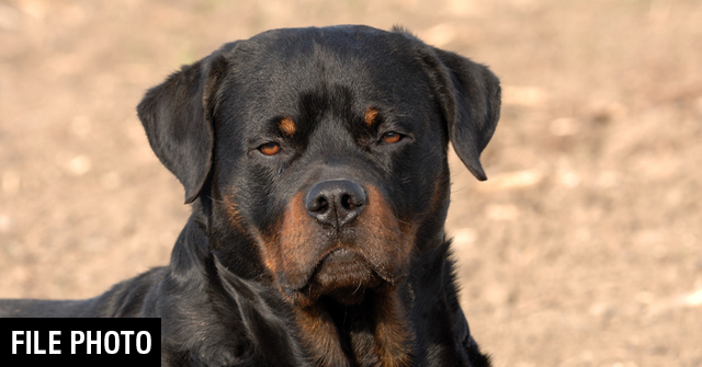 Fatal Rottweiler Attacks - The Archival Record | DogsBite Blog