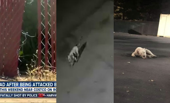 costco parking lot - pit bulls kill woman