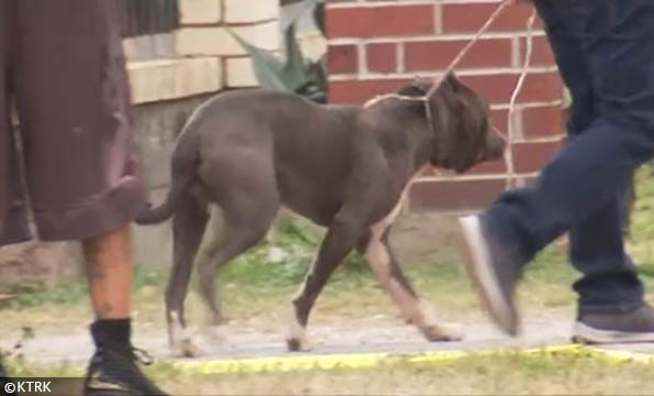 North houston pit bull attack
