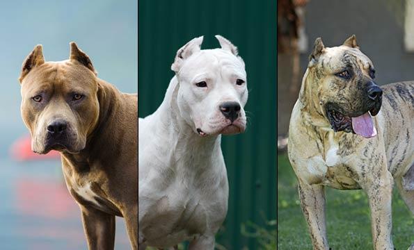 pit bull, dogo argentino, presa canario