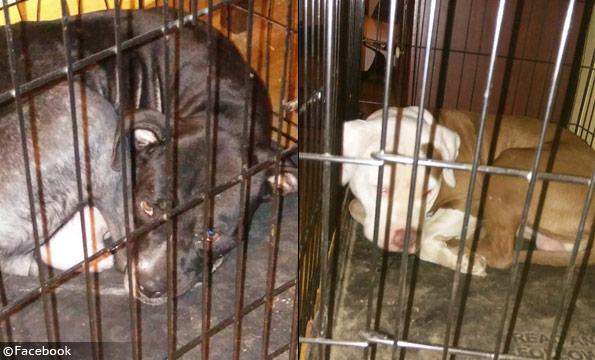 Adult pit bulls fatal memphis dog mauling