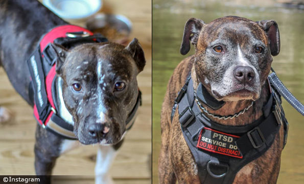 caring for neighbor's pit bulls