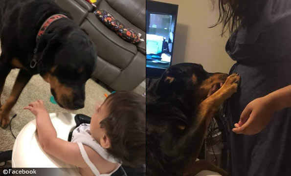 pair of family rottweilers kill baby