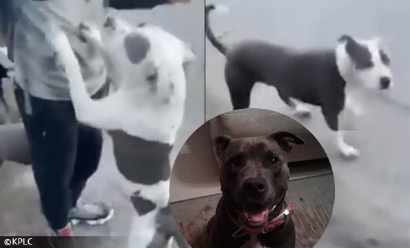 pit bull owner victimhood