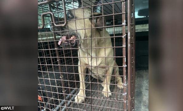 cocke county fatal dog attack - cane corso
