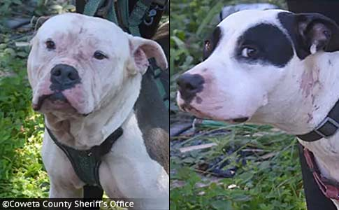 man killed by pit bulls in coweta county